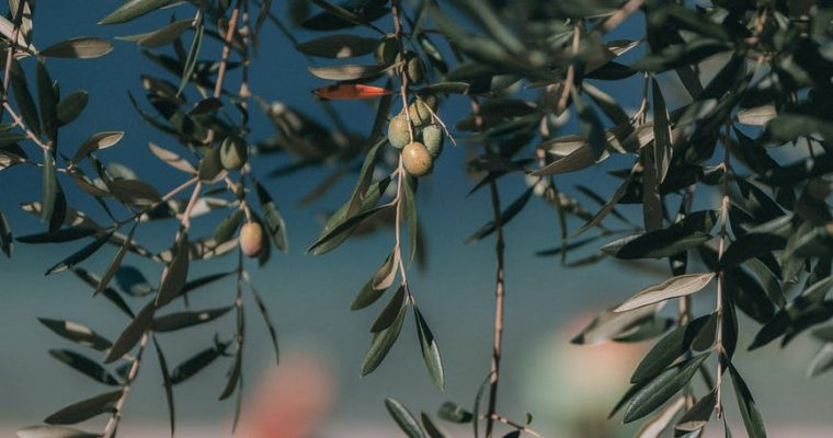 Day 16 of 40: Olive tree